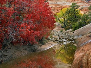 Maples and the Stream